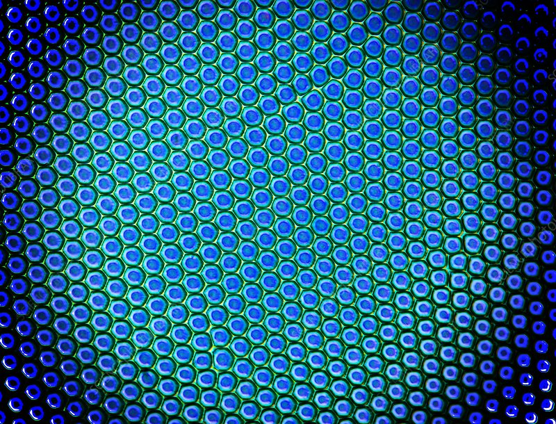 Beetle compound eye, light micrograph