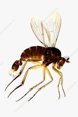 Fan-tail fly, light micrograph