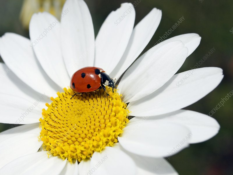 Chamomile flower and ladybird