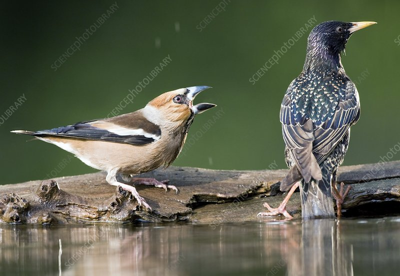 Hawfinch being aggressive