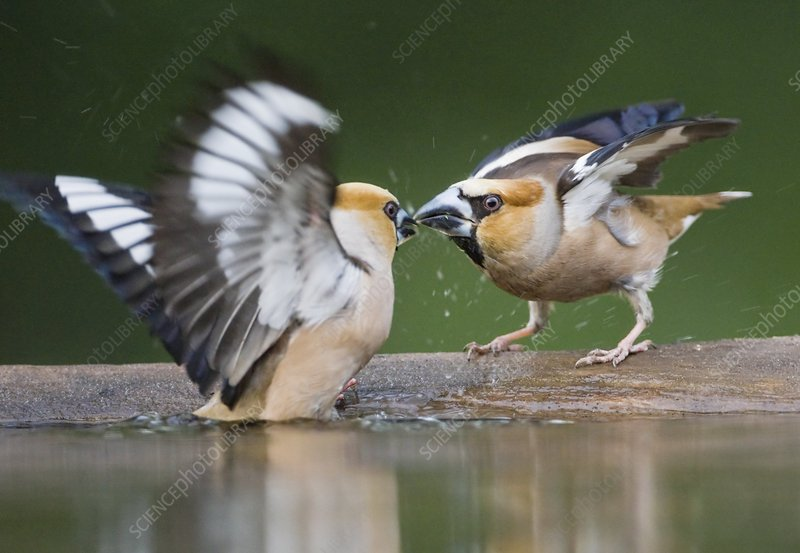 Hawfinches fighting