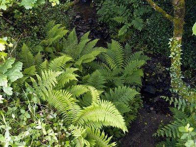 Ferns by a stream