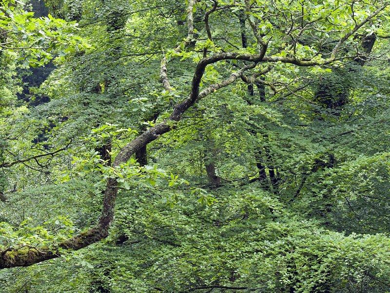Oak and beech trees, Dartmoor, UK