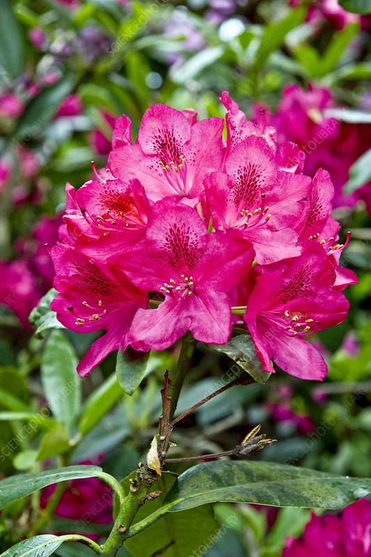Rhododendron 'America'
