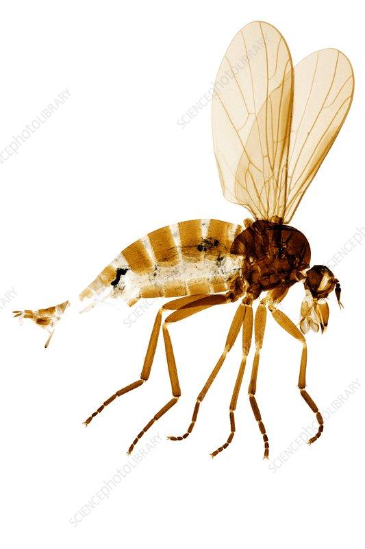 Female assassin fly, light micrograph