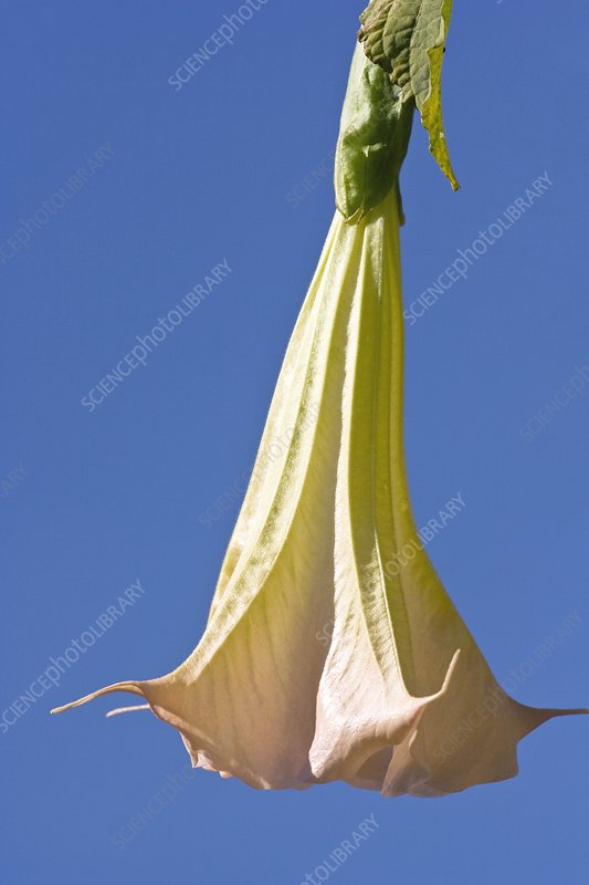 Angel's trumpet (Brugmansia x candida)