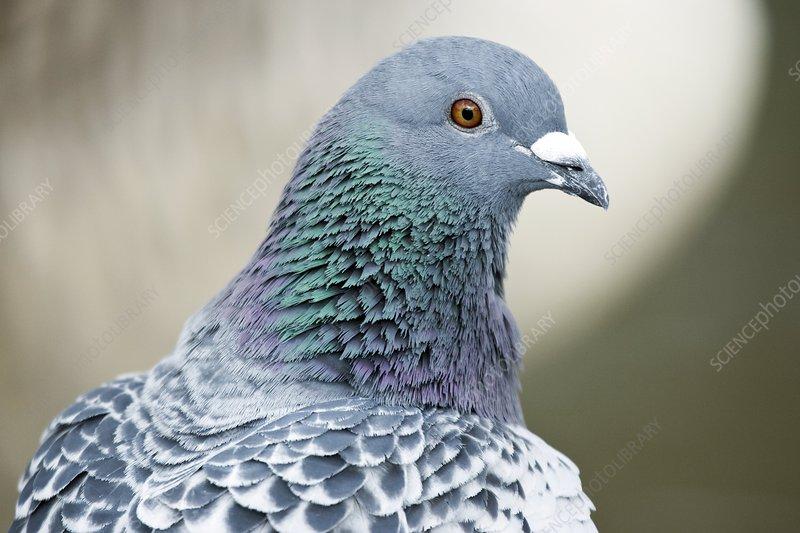 Rock pigeon