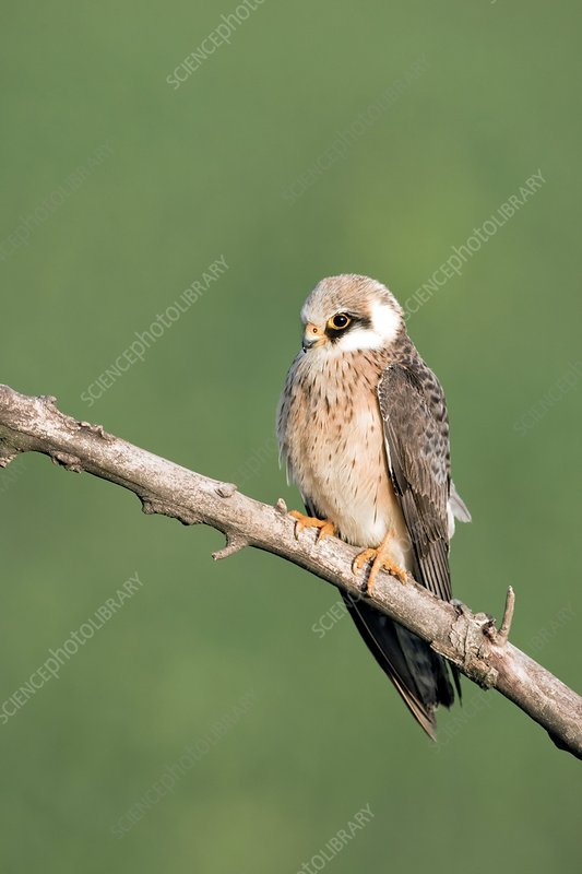 Female red-footed falcon