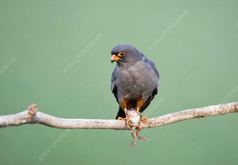 Falconiformes. sub Falconidae - sub fam Falconinae - gênero Falco - Página 3 C0010739-Male_red-footed_falcon-SPL
