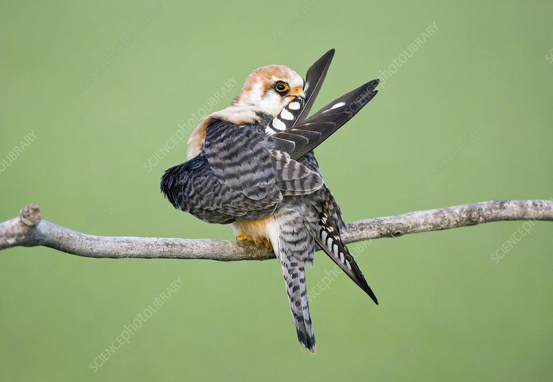Female red-footed falcon preening