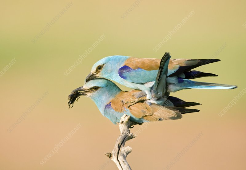 European rollers mating