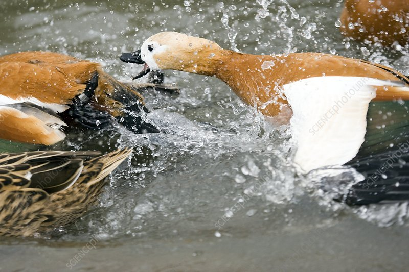 Ruddy shelducks fighting