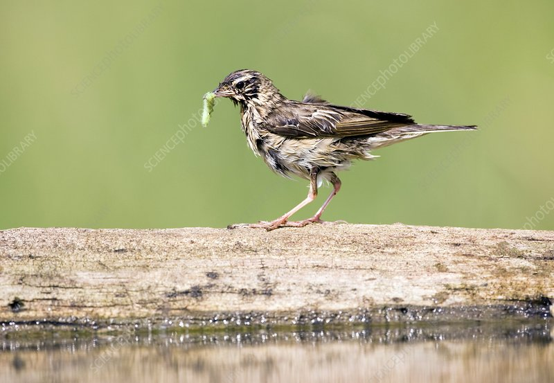 Tree pipit eating a caterpillar