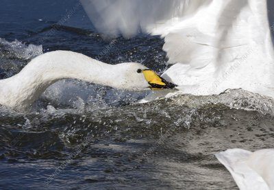 Whooper swan attacking others