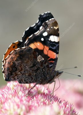 Red admiral butterfly feeding