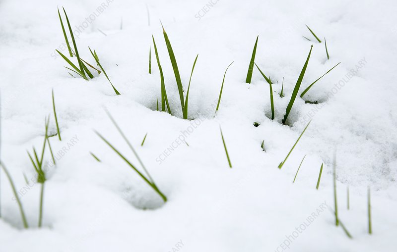 Meadow grass (Poa sp.) in snow