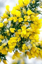 Common gorse flowers (Ulex europaeus)