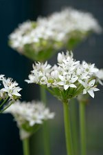 Garlic chives flowers (Allium tuberosum).