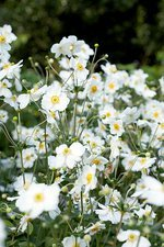 Japanese windflowers (Anemone sp.)