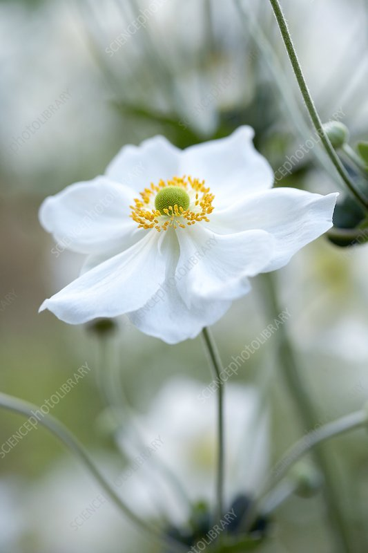 Japanese windflower (Anemone sp.)