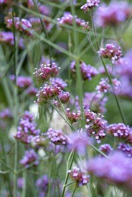 Verbena flowers (Verbena sp.)