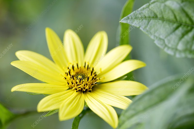 Sunflower (Helianthus 'Lemon Queen').