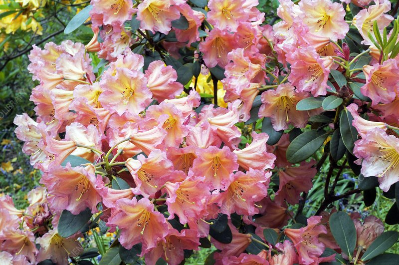 Rhododendron 'September Song'