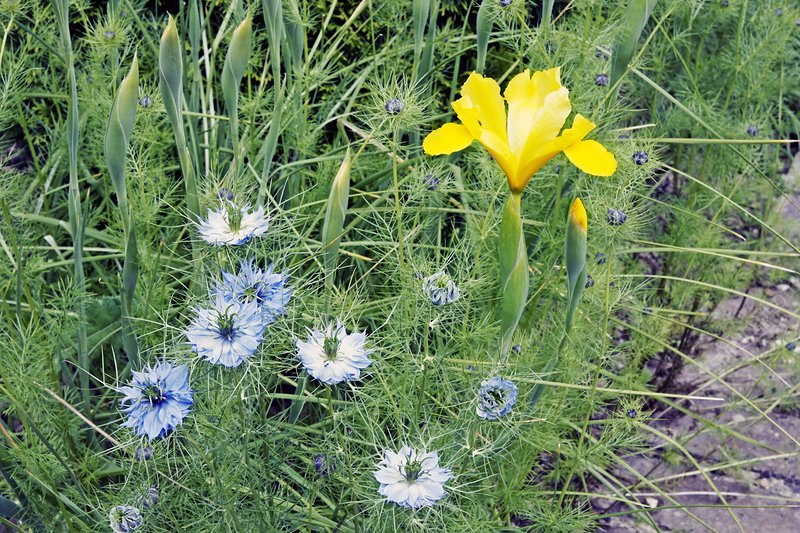 Iris 'Golden Emperor' and Nigella sp.