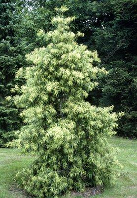 Willowleaf podocarp (Podocarpus salignus)