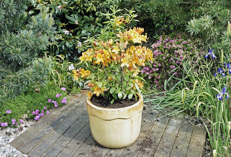 Rhododendron luteum 'Golden Eagle'