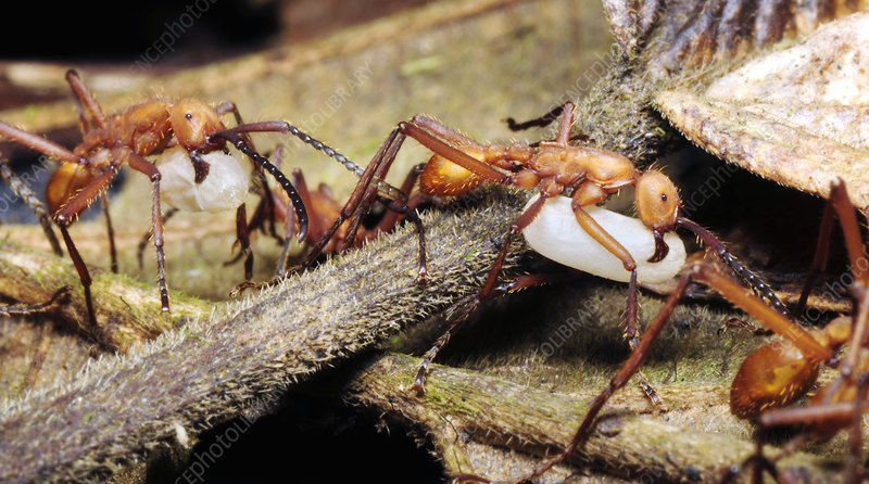 Ants carrying pupae