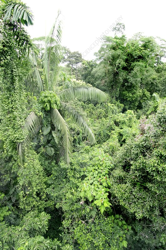 Tropical rainforest canopy