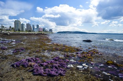 Purple starfish on a beach, Canada