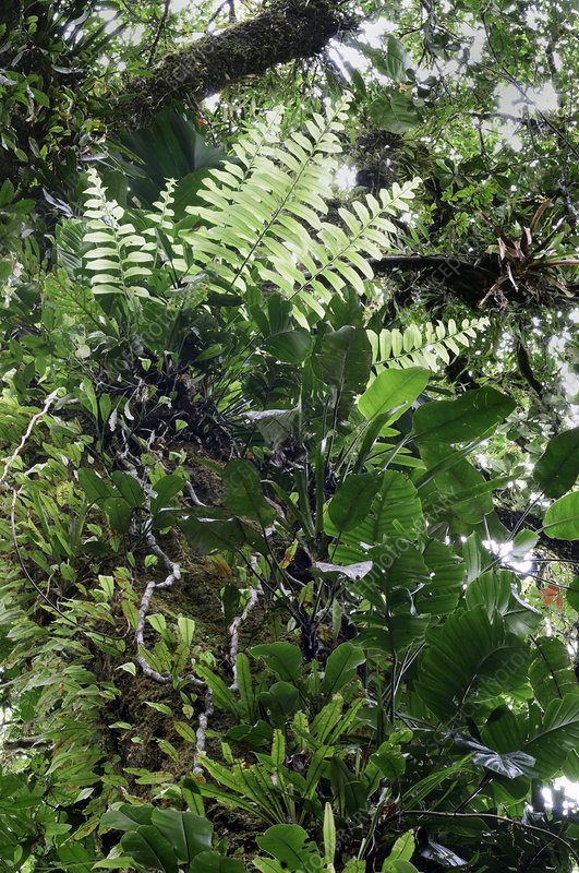 Epiphytic plants in a rainforest canopy