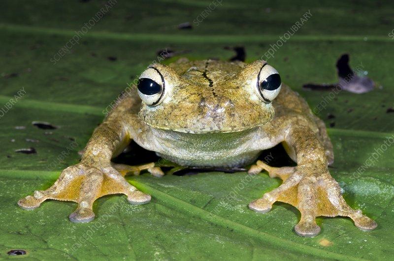 Gladiator treefrog