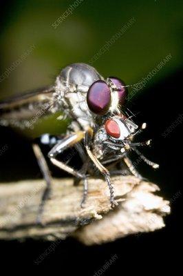 Robber fly feeding on its prey