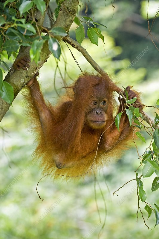the sumatran orang utan biology essay Essay orangutans tim sanderson anth 111 in malay orang means person and utan is defined as forest' thus orangutan literally means person of the forest orangutans are found in the tropical forests of sumatra and borneo they are the most arboreal of the great apes and move amongst the safety of the trees from one feeding site to the next.