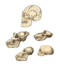 Primate skulls, 19th century artwork