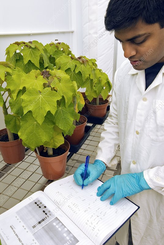 Jatropha plant research