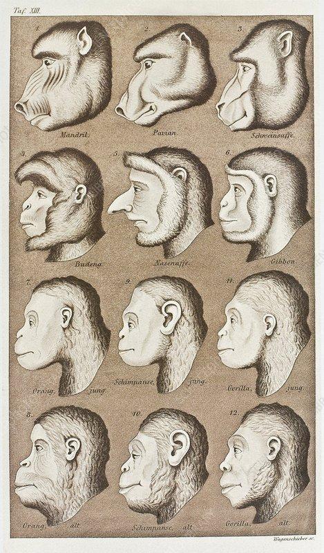 Artwork of twelve catarrhines, 1870