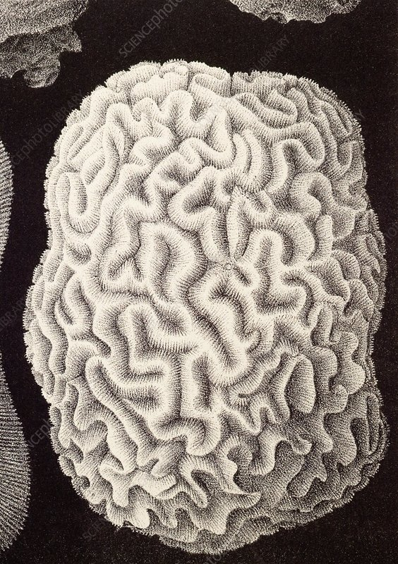 Brain coral, artwork
