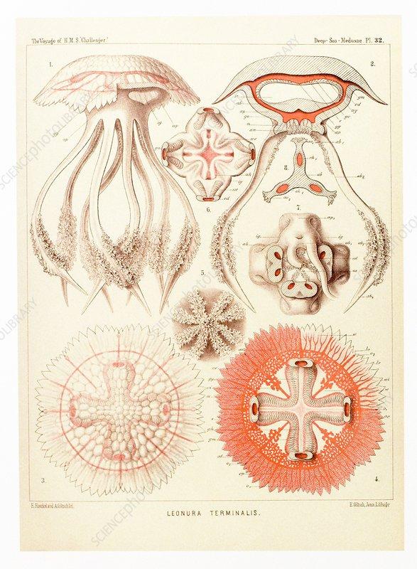 Jelly fish, artwork