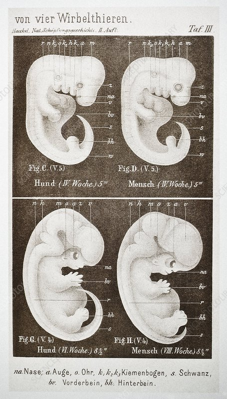 Embryonic development, historical artwork