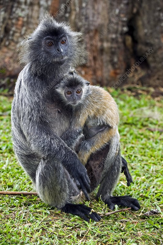 Silvered leaf monkeys