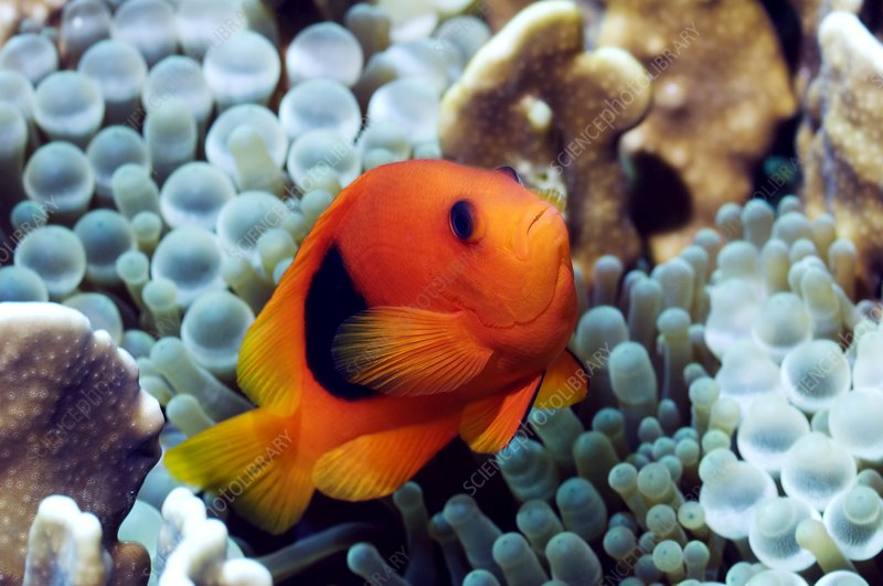 Red saddleback anemonefish
