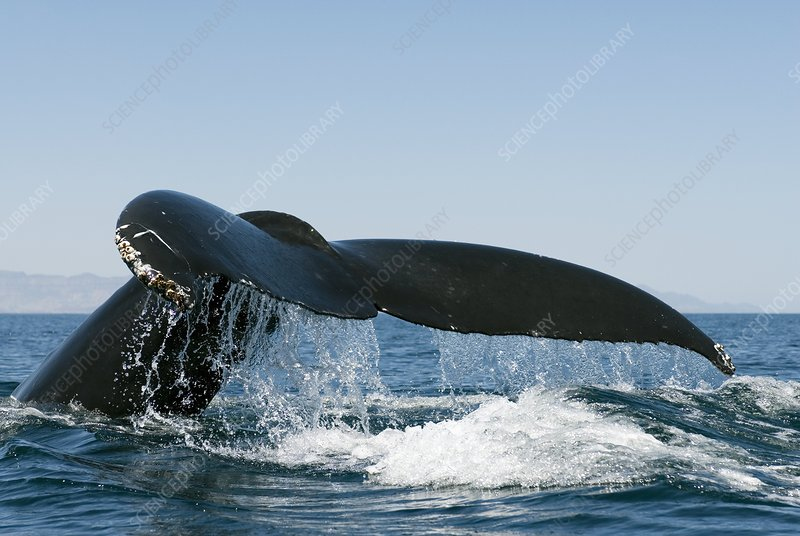 Humpback whale tail