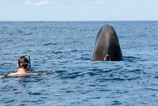 Sperm whale and snorkeller