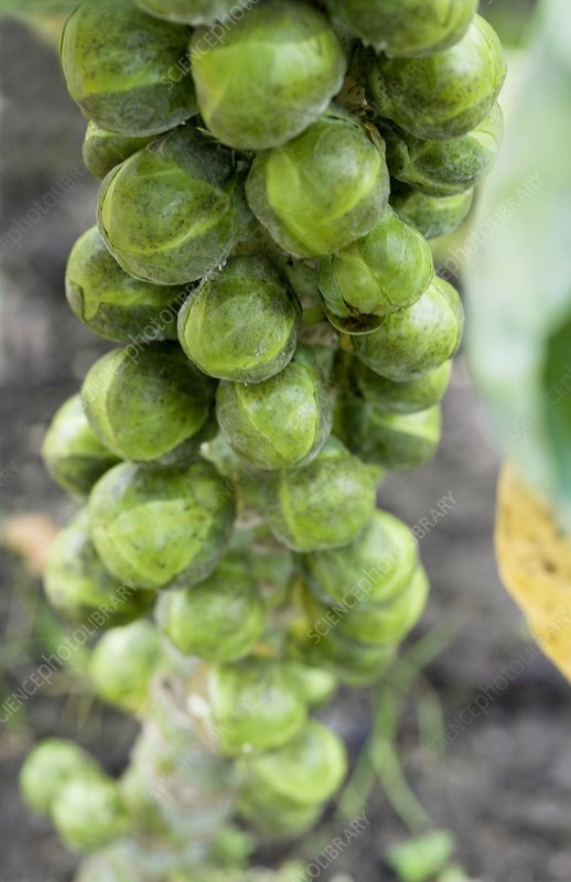 Brussel sprouts plant