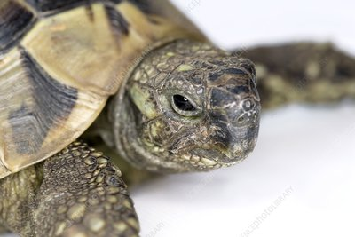 Hermann's tortoise head