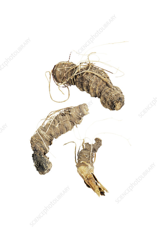 False unicorn root